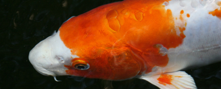 Four things you can do to have healthy koi this Spring