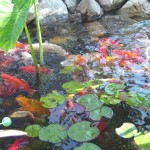 Koi-Pond