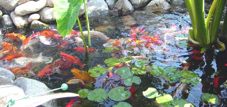 pond recommendations and rules of thumb buck 39 s landscape On koi pond rules